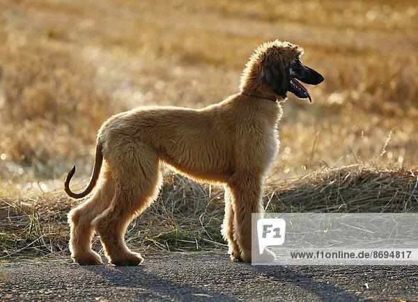 Afghanischer Hund  Welpe  vor einem Stoppelfeld stehend