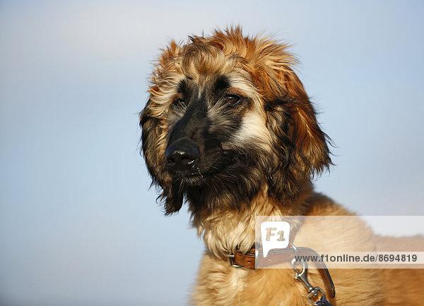 Porträt eines afghanischen Hundes vor dem Himmel  Welpe