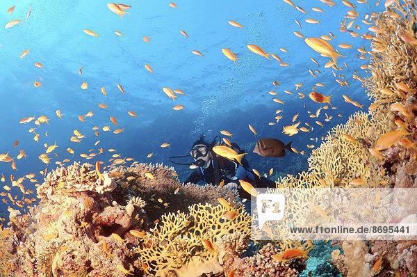 Taucher mit Juwelen-Fahnenbarschen (Pseudanthias squamipinnis)  Rotes Meer  Ägypten