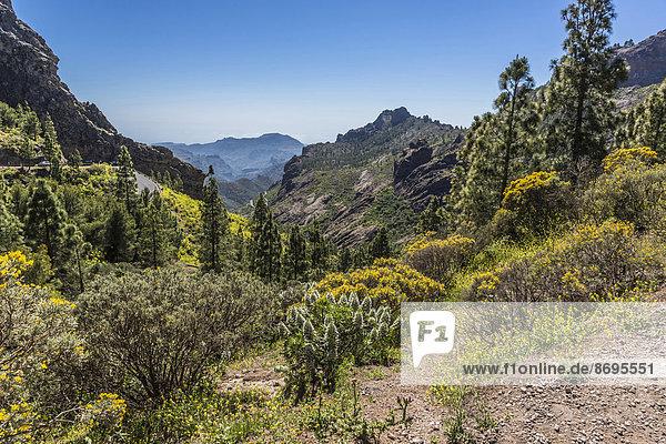 Weißer Gran Canaria Decaisne-Natternkopf  Tajinaste (Echium decaisnei)  und Kanarischer Drüsenginster (Adenocarpus)  Berglandschaft  Aussicht vom Wanderweg zum Roque Nublo  Gran Canaria  Kanarische Inseln  Spanien