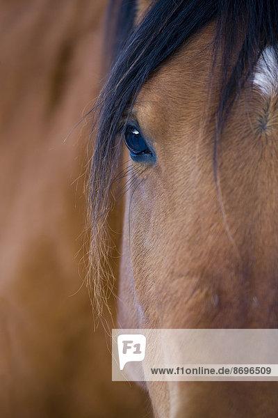 Brown Arab Horse  eye  North Tyrol  Austria