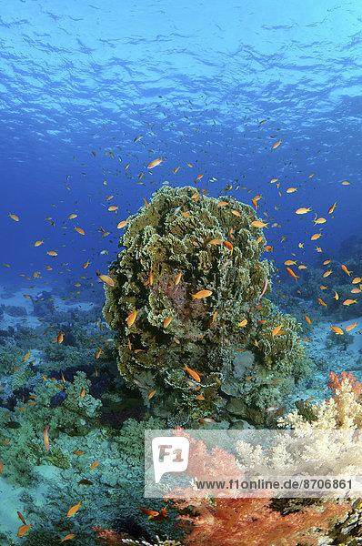 Korallenriff Ägypten Rotes Meer Scharm El-Scheich Sharm el-Sheikh