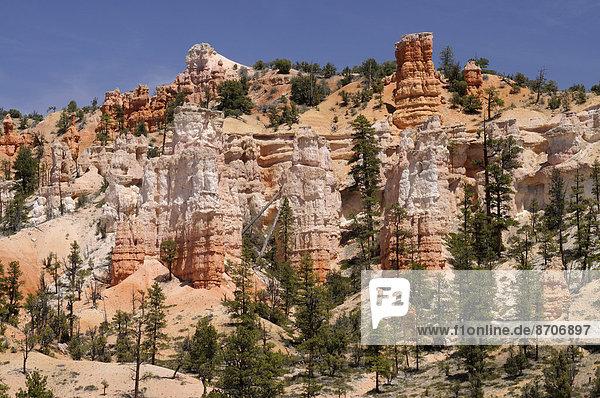 Kiefern und Felstürme aus erodiertem Sandstein  Bryce-Canyon-Nationalpark  Utah  USA