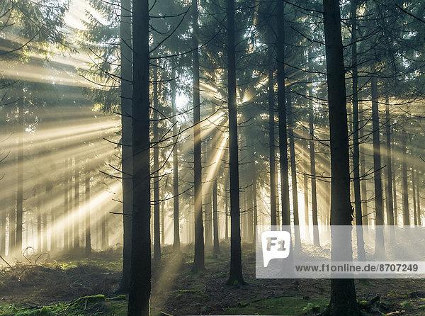Sonnenstrahlen durchdringen den Morgennebel im Wald  Taunus  Hessen  Deutschland Sonnenstrahlen durchdringen den Morgennebel im Wald, Taunus, Hessen, Deutschland