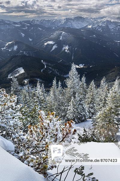 Tief verschneiter Bergwald  Bergkiefern (Pinus mugo) am Wildkamm mit der Hochschwabgruppe  Niederalpl  Mürzsteger Alpen  Steiermark  Österreich