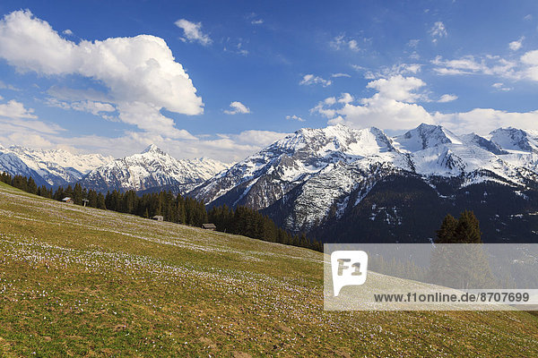 Krokuswiese im Gebirge  Zillertal  Tirol  Österreich