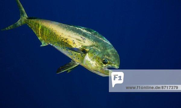 Bulldelfin oder Mahi-mahi.