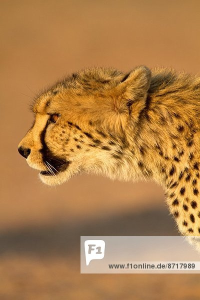 Cheetah (Acinonyx jubatus)  Kgalagadi Transfrontier Park  Kalahari desert  South Africa.