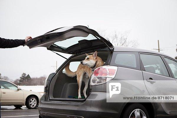 Kreuzgezüchteter Schäferhund im Kofferraum