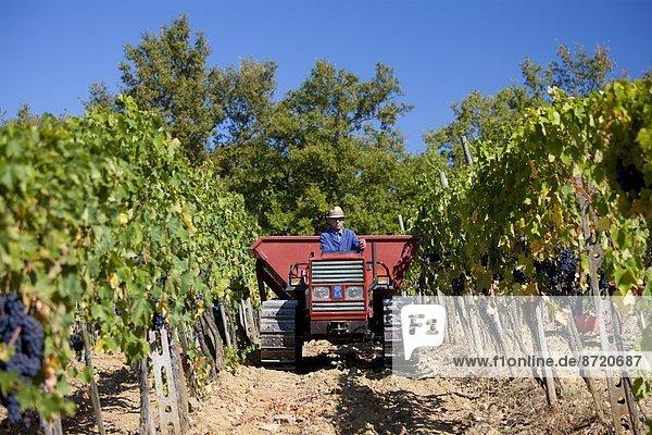 Mann  fahren  Traktor  ernten  Weintraube  Geographie  Chianti  Italien  Toskana