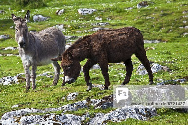 Traditional Irish brown and grey donkeys in The Burren  County Clare  West of Ireland