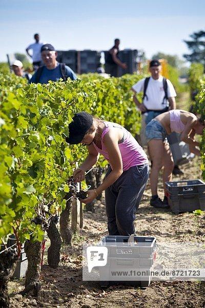 Frankreich  ernten  Wahrzeichen  Weintraube  Palast  Schloß  Schlösser  Bordeaux  Weinberg