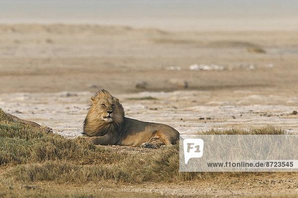 Afrikanischer Löwe (Panthera Leo)  rastend am Rande der Etosha-Pfanne  Etosha-Nationalpark  Namibia