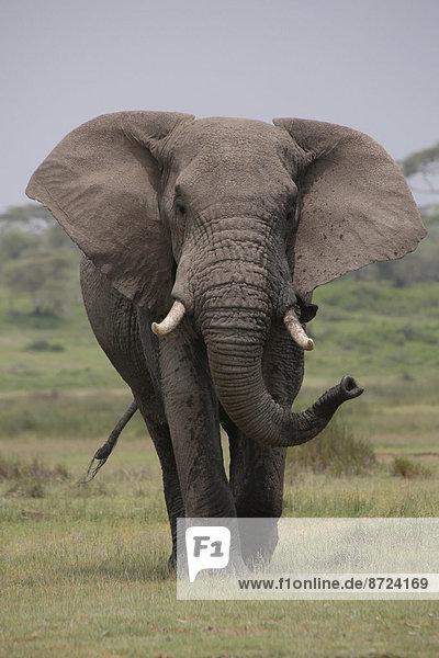 Afrikanischer Elefant (Loxodonta africana)  Serengeti  Tansania