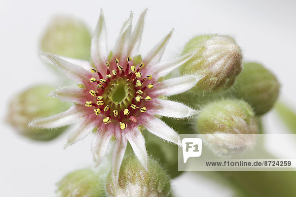 Star-shaped flower of a Houseleek (Sempervivum grandiflorum)