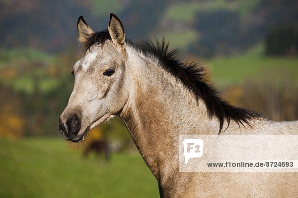 Quarter Horse  Jährling  Buckskin  Nordtirol  Österreich