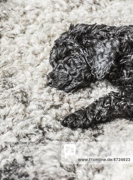 schlafen schwarz Pudel grau Welpe schlafen,schwarz,Pudel,grau,Welpe