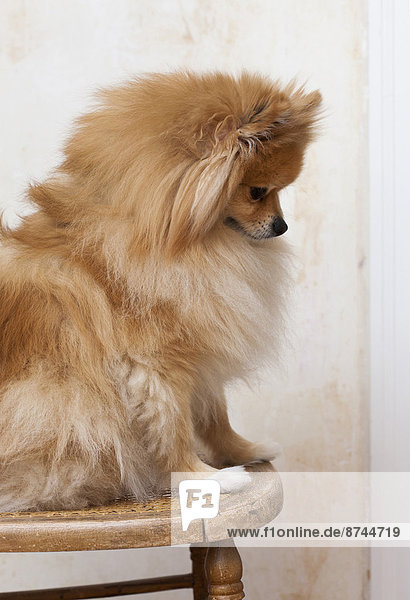 Studioaufnahme  sitzend  Portrait  Stuhl  Hund  Spitz  Spitze Studioaufnahme ,sitzend ,Portrait ,Stuhl ,Hund ,Spitz, Spitze