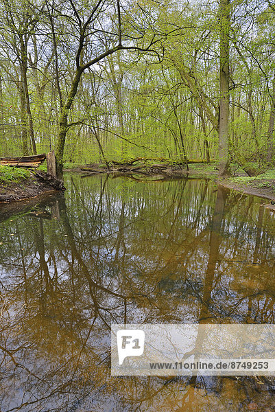 Pond in Riparian Forest in Spring  Bulau  Hanau  Hesse  Germany