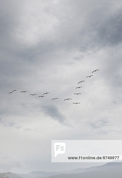 View of Canada Geese flying in formation  Vancouver Island  British Columbia  Canada