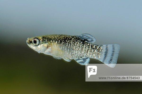 Fisch  Pisces  Stechmücke  Culex pipiens  Gefahr  amerikanisch  grüßen  Tier