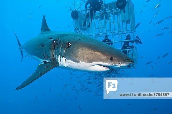 weißer Hai  Carcharodon carcharias  weiße Haie  Weißhai  Guadalupe  Isla Guadalupe  Mexiko
