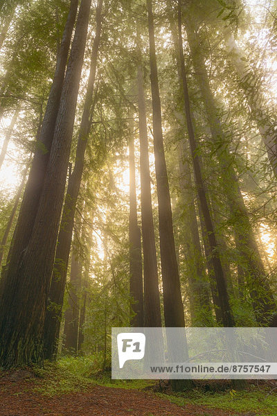 beleuchtet  Sequoia  Sonne