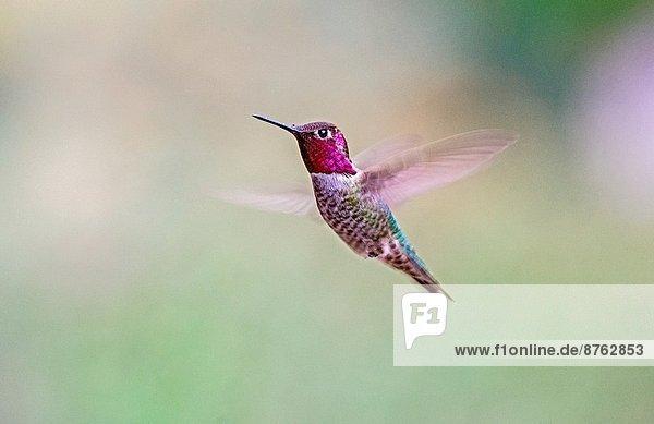 Großstadt  Schmetterling  Süden  Coronado  Kalifornien  Kolibri  Santa Barbara