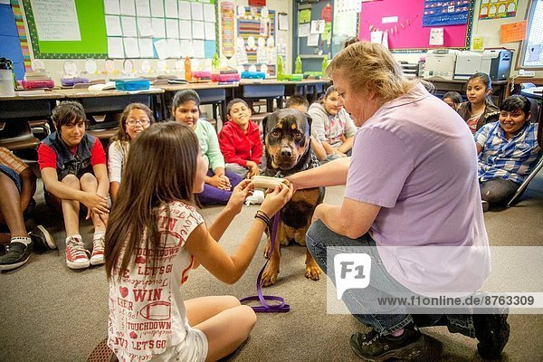 A predominantly Hispanic elementary school class in San Bernardino  CA  gets a lesson in dog care from the owner of a Rottweiler as a girl learns how to offer food.