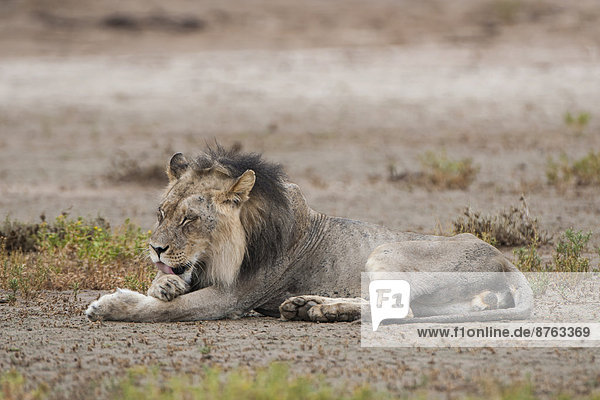 Male Lion (Panthera leo) licking his fur  Kgalagadi Transfrontier Park  Northern Cape  South Africa