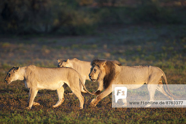 Lions (Panthera leo)  Kgalagadi Transfrontier Park  Northern Cape  South Africa