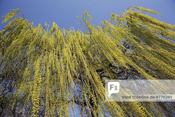 Trauerweide (Salix babylonica)  herabhängende Zweige im Frühling  Nordrhein-Westfalen  Deutschland