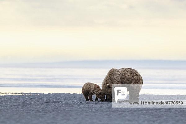 USA  Alaska  Lake Clark National Park and Preserve  Braunbär und Bärenjunges (Ursus arctos)  Muschelsuche USA, Alaska, Lake Clark National Park and Preserve, Braunbär und Bärenjunges (Ursus arctos), Muschelsuche