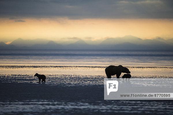 USA  Alaska  Lake Clark National Park und Preserve  Braunbär mit Jungen auf der Suche nach Muscheln im See