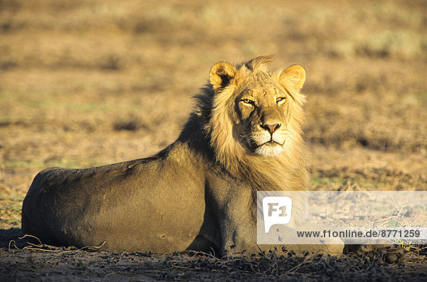 Lion (Panthera leo) in morning light  Kgalagadi Transfrontier Park  Northern Cape  South Africa