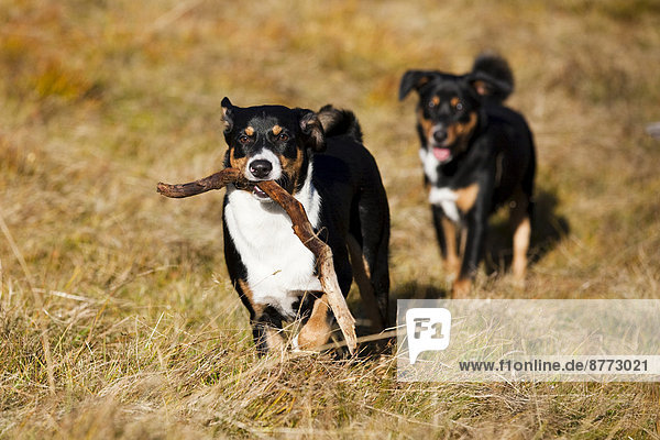 Appenzeller Sennenhund  young dogs playing with stick  North Tyrol  Austria