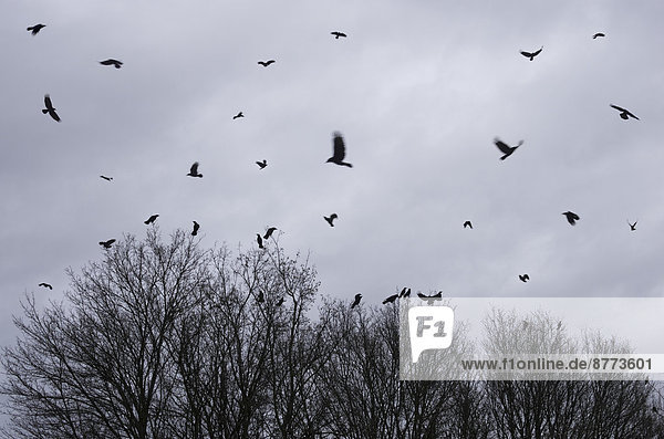 Flock of crows flying in front of rain clouds in winter