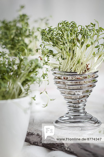 Kresse (Lepidum sativum) in Eierbecher und Tassen