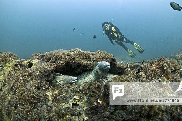 Oman  Daymaniyat Inseln  Taucher und Weißaugenmuräne (Gymnothorax thrysoideus) vorn