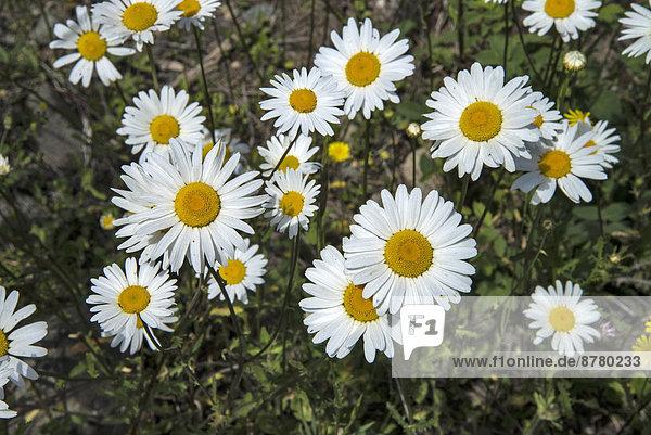 Gänseblümchen  Bellis perennis  Margerite  Chrysanthemum leucanthemum  Magerwiesen-Margerite  Leucanthemum vulgare  Blume  Blüte  British Columbia  Kanada