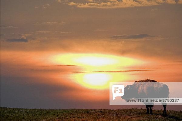 Vereinigte Staaten von Amerika  USA  Nationalpark  Amerika  Sonnenuntergang  Tier  Büffel  Bison  South Dakota