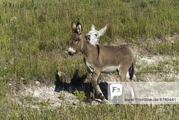 Wild burro  Custer  State Park  South Dakota  USA  United States  America  donkeys  animals  two