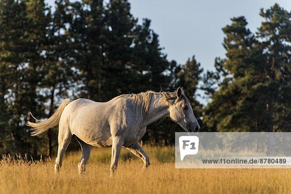 Vereinigte Staaten von Amerika  USA  Amerika  Tier  Pferd  Equus caballus  Prärie  Wyoming