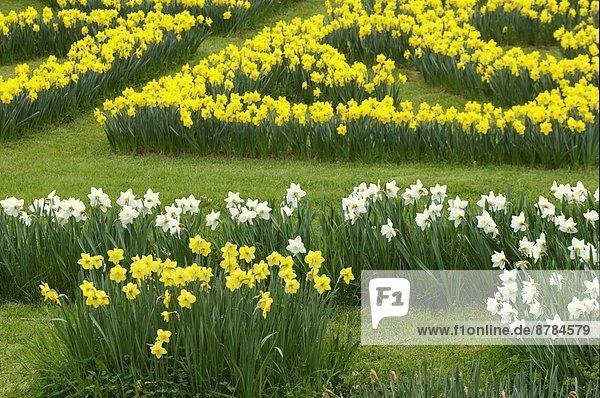 Narzisse Blume Garten Toskana Italien
