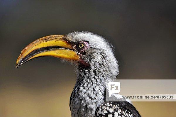 Rechnung Afrika Nashornvogel Mosambik