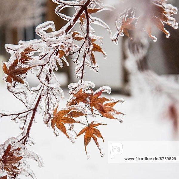 Gefrorene Ahornblätter nach Eissturm