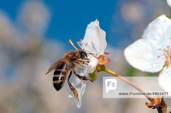 Pollen  Blütenstaub  sammeln  Osteuropa  Biene  Honig  Ukraine