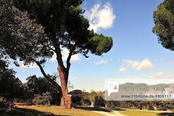 Kiefer  Pinus sylvestris  Kiefern  Föhren  Pinie  Madrid  Hauptstadt  Spanien