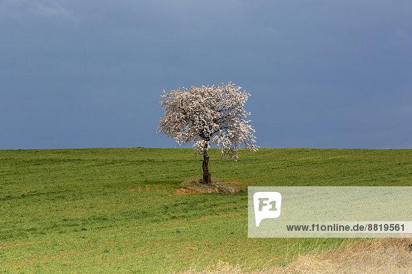 Einzelner blühender Baum auf Feld  Valencia  Spanien