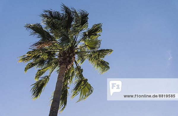 Palme (Arecaceae) gegen blauen Himmel  La Palma  Kanarische Inseln  Spanien